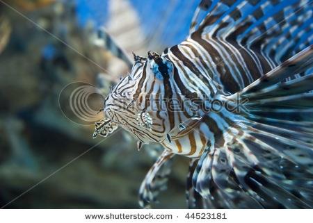 striped zebra fish | FISH TANK | Pinterest