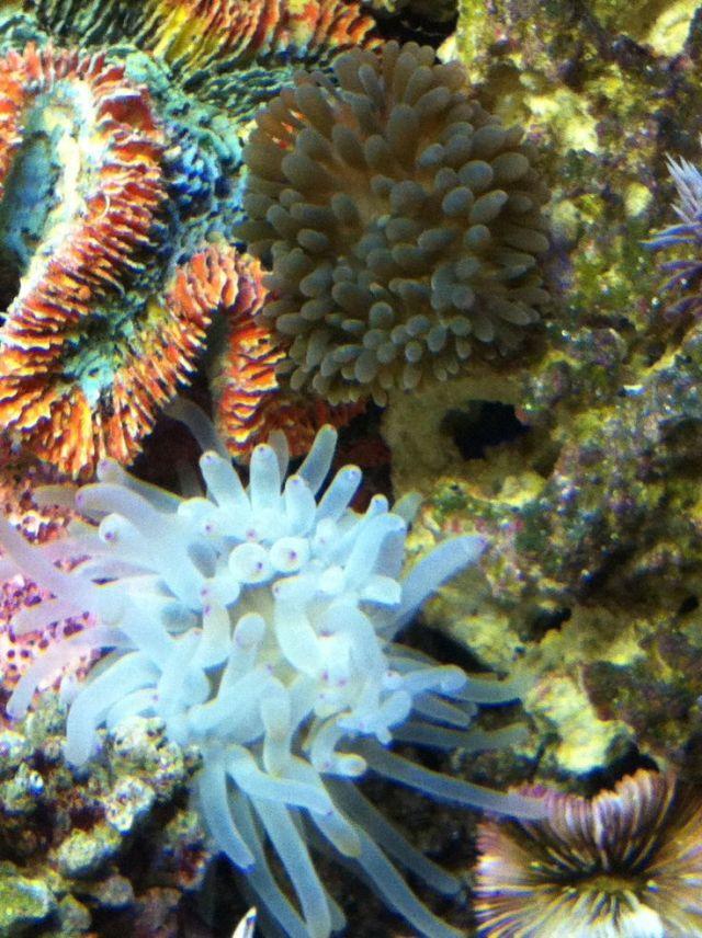 Anemones | My Saltwater Aquarium | Pinterest