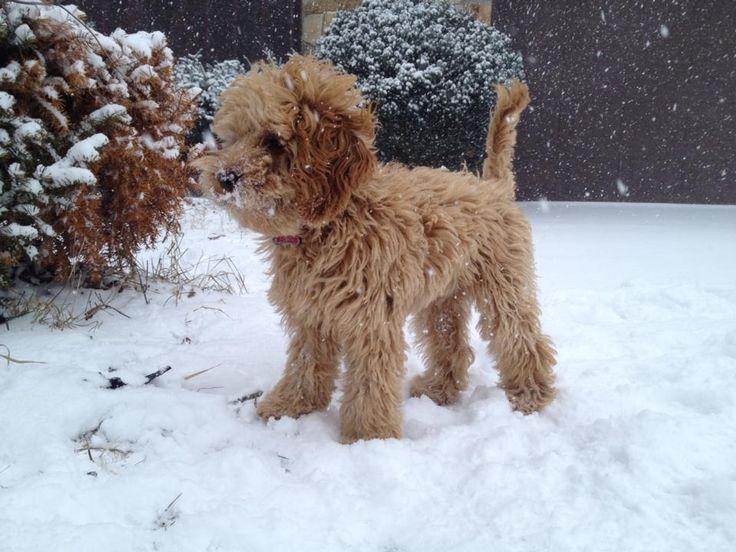 Winter Animal Wallpaper Cockapoo Puppy Animal Lover Pinterest