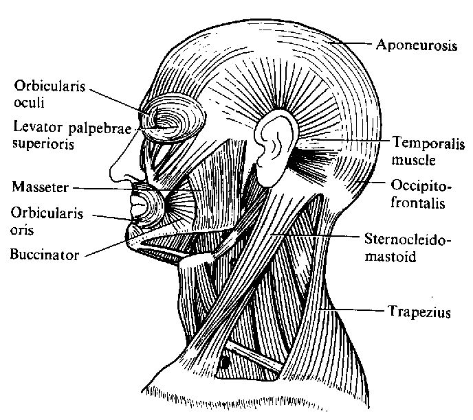 human head and neck muscles diagram
