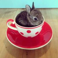 Teacup bunny | Cuteness | Pinterest