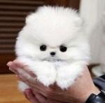 Teacup Pomeranian Puppies Sale