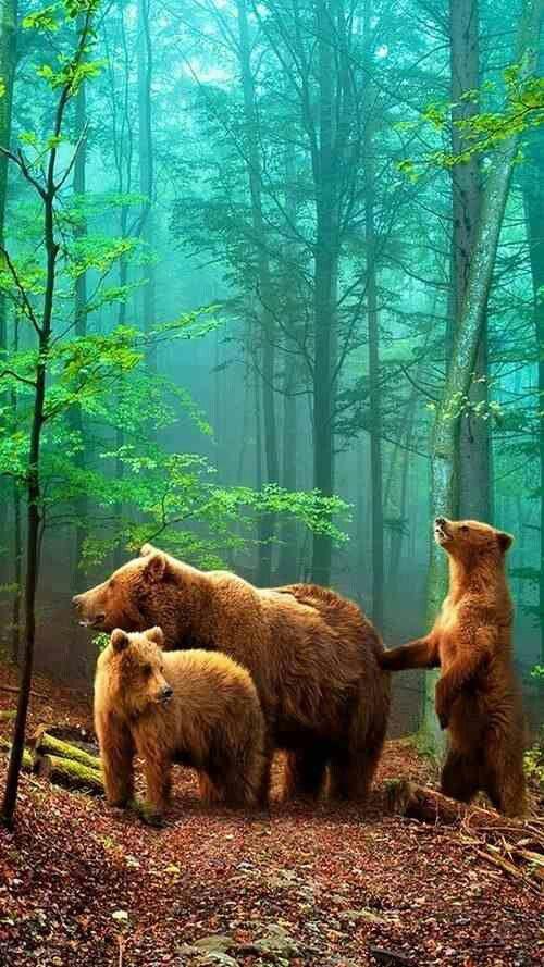 Numa Falls Canada Wallpaper Bears In The Woods Animals Pinterest