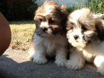 Shih Tzu Bichon Teddy Bear Puppy