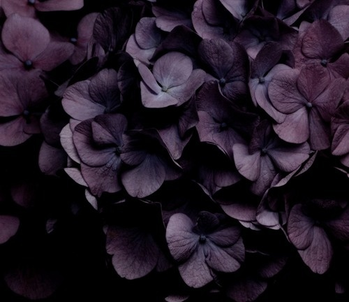 Dark Purple Hydrangea Dark Purple Hydrangeas | For My Mom | Pinterest