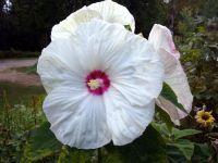 Dinner Plate Hibiscus | Beauties In My Garden - Bancroft ...