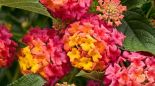 Proven Winners Luscious Berry Blend Lantana This Plant Loves The