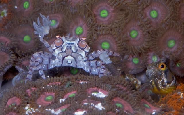 Saltwater Crab and Gobie