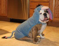 Eeyore Bulldog Costume | Bulldog Friendzy | Pinterest