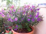 Veronica Lake Hebe Plant