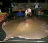 Giant Freshwater Stingray Caught