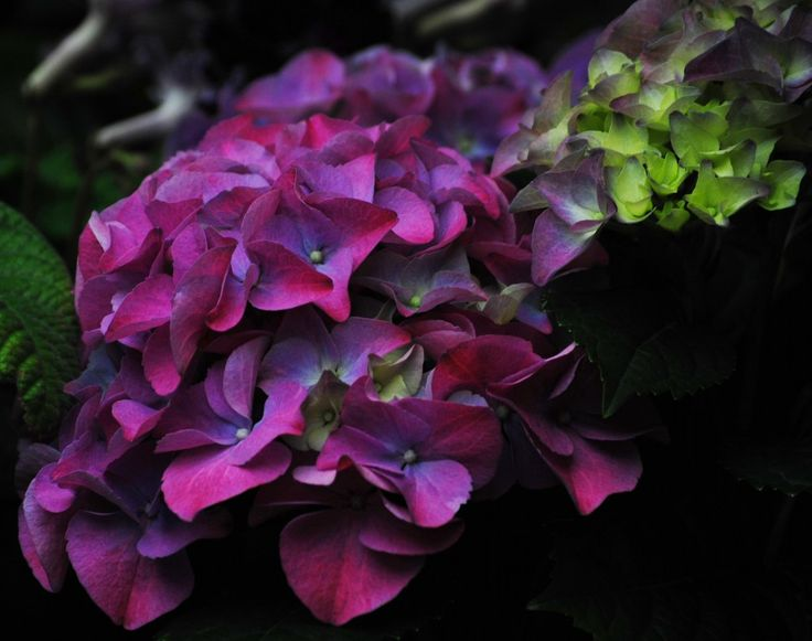 Dark Purple Hydrangea Hydrangea | Hydrangeas | Pinterest