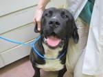 Bullmastiff Dog Breed Information American Kennel Club