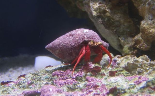Scarlet Reef Hermit Crab is named for its bright red legs that are