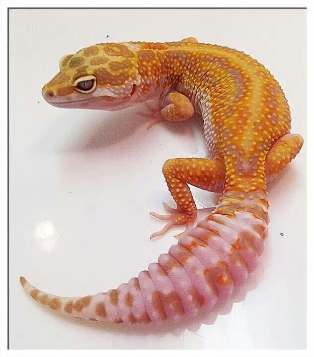 Cute Leopard Gecko Wallpaper Baby Fancy Leopard Gecko