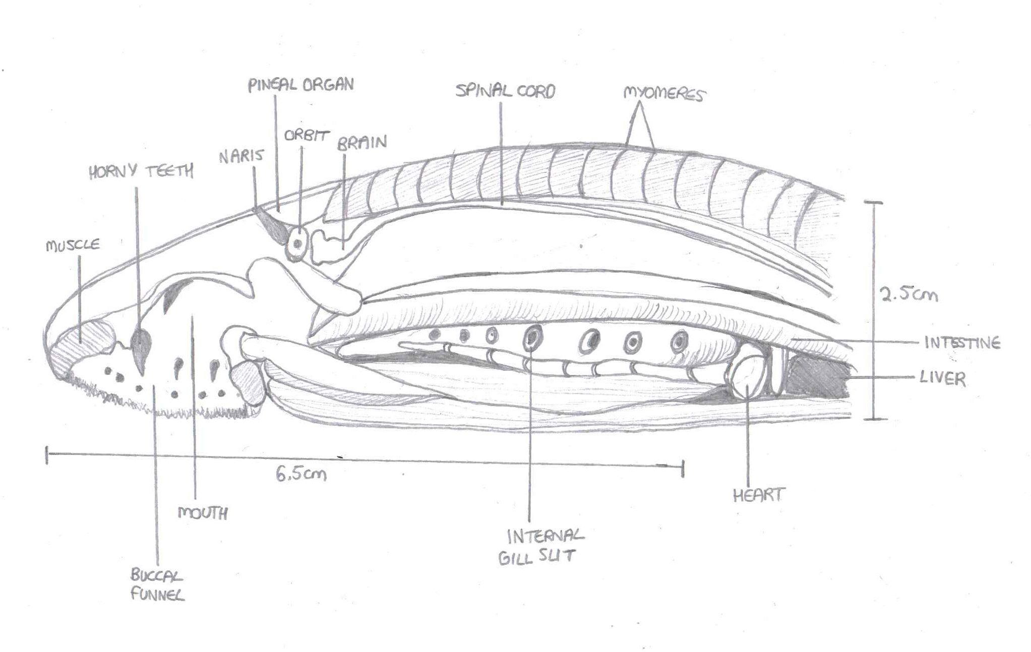 musculature anatomical diagram