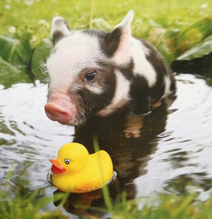 Cute Piggies Wallpaper 1000 Images About ☮ Adorable Pigs And Piglets On