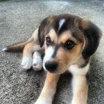 Cutest Goberian Puppy Animals Are Best Pinterest