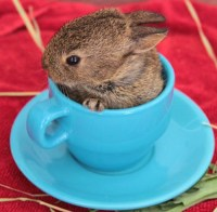 Teacup Bunny | Animals | Pinterest