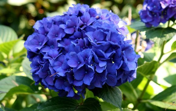 Dark Purple Hydrangea Dark Purple Hydrangea | Gardening | Pinterest