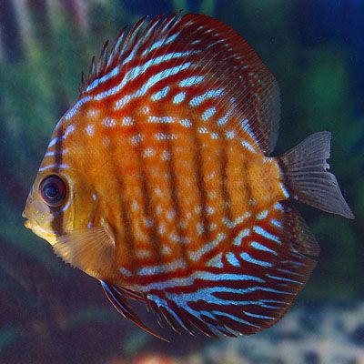 Live Discus for Sale | Red Scribbled Discus, Angelfish & Discus for