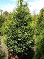 Green Giant Arborvitae Plants Plants Plants Arrivals Pint