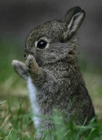 Teacup bunnies | animals | Pinterest