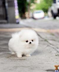 white teacup pomeranian puppy | Neat Photos | Pinterest