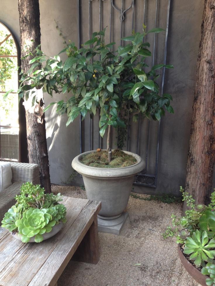 Lemon Tree For Patio Corner Patio Pinterest