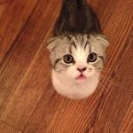 Taylor Swift Scottish Fold Cat