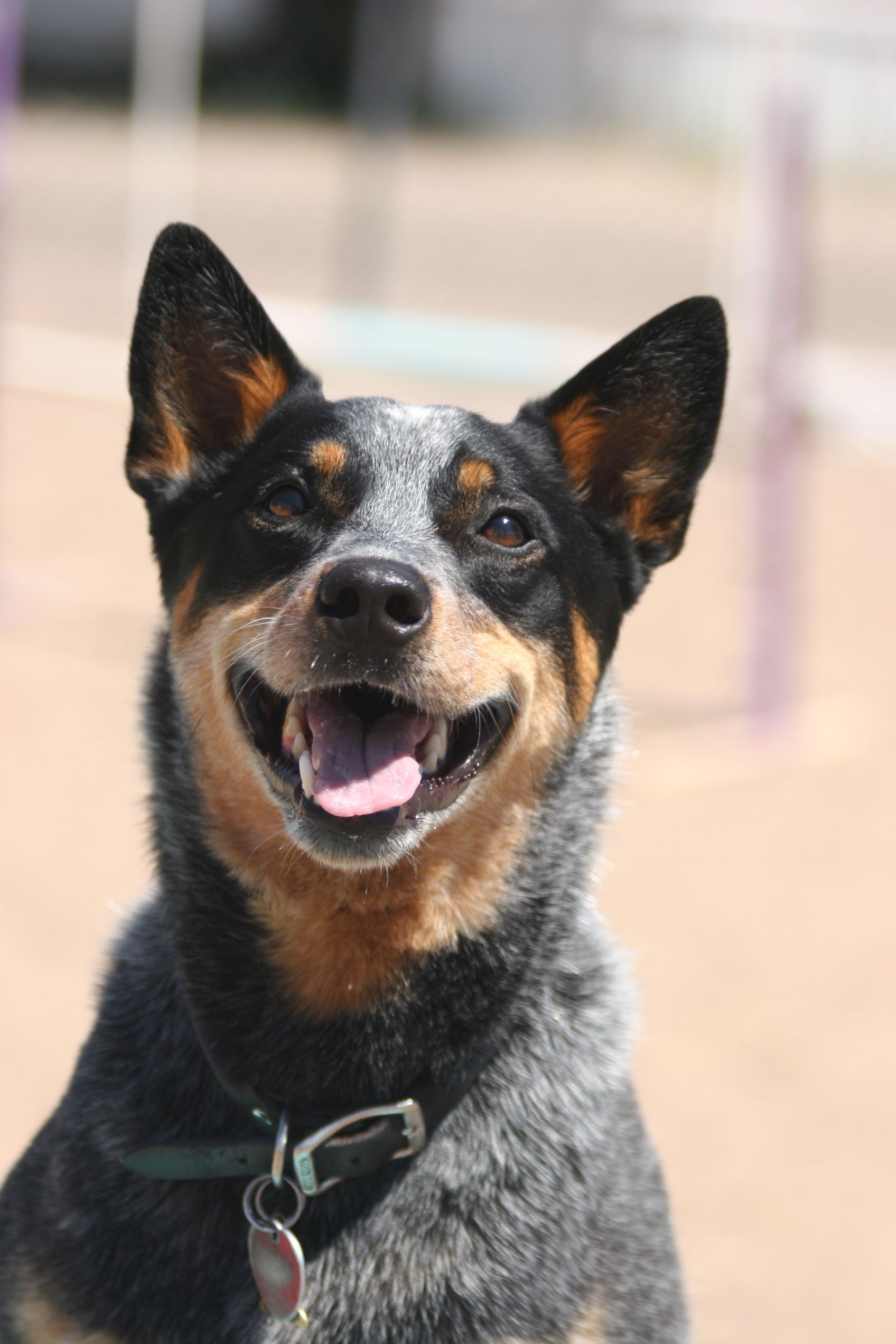 Australian Cattle Dog Chloe Australian Cattle Dog Border Collies And