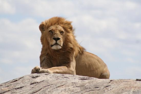 Lion Animal Wallpaper Serengeti National Park Pictures Traveler Photos Of