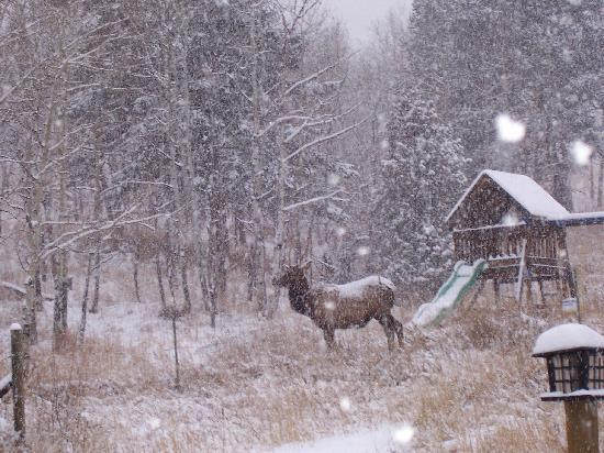 Colorado Fall Wallpaper Bull Elk In Fall Snow Picture Of Evergreen Colorado