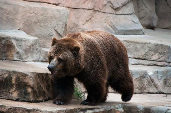 Where The Wild Things Are Wallpaper Hd Brown Bear Henry Vilas Zoo Madison Wisconsin Picture