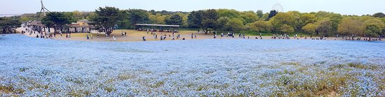 hitachi seaside park and ashikaga flower park spring garden tour from tokyo tokyo tours
