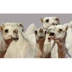 Small Crop Of Camel Camel Camel