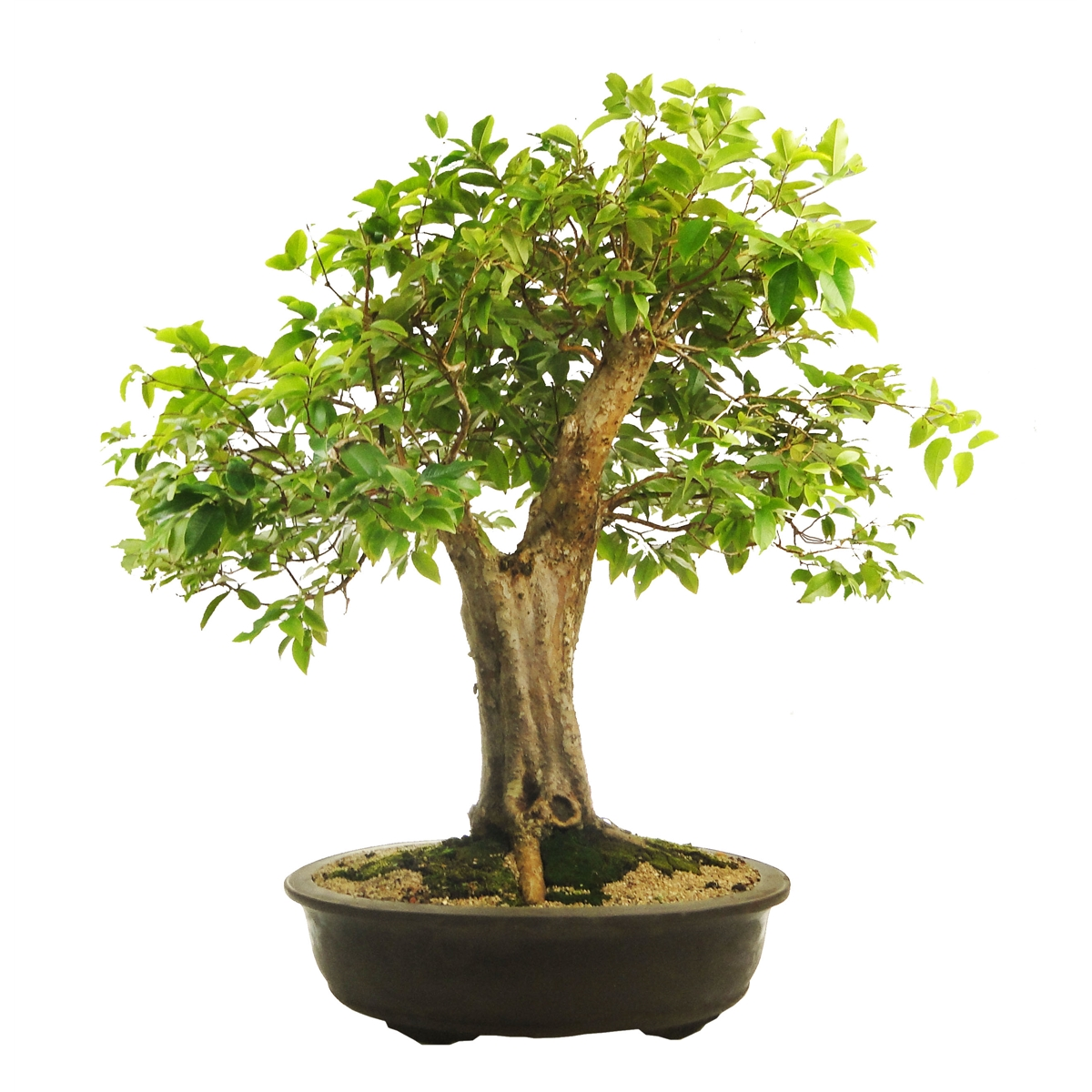 Bonsai Ficus Microcarpa Ginseng Pflege 5 Indoor Plants And Flowers You Should Get Home This Summer