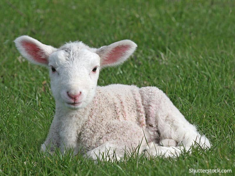 Cow Wallpaper Cute The Lamb Of God Died For Our Sins Sheep In The Bible