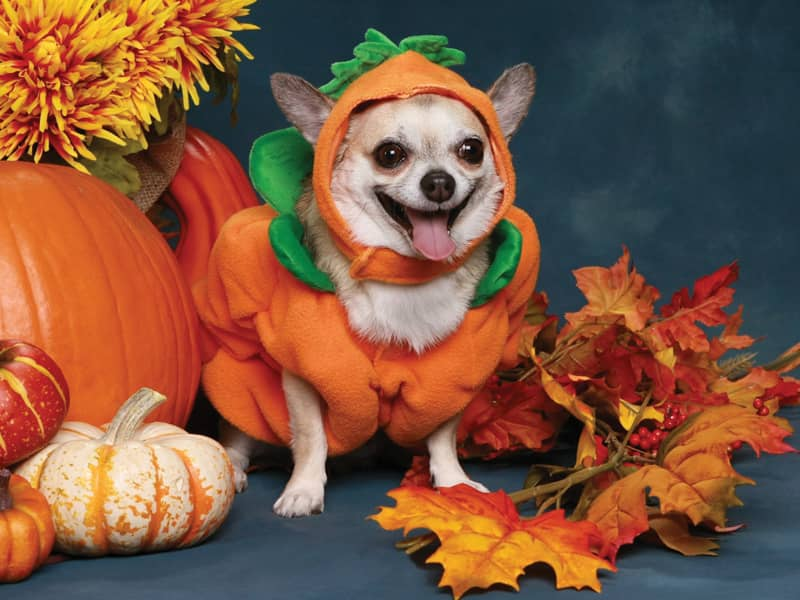 Shiba Inu Cute Desktop Wallpaper 10 Adorable Animals Dressed For Halloween Pet Halloween