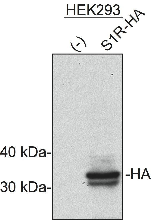 Anti-HA (Western Blot) Biocompare Antibody Review - western blot