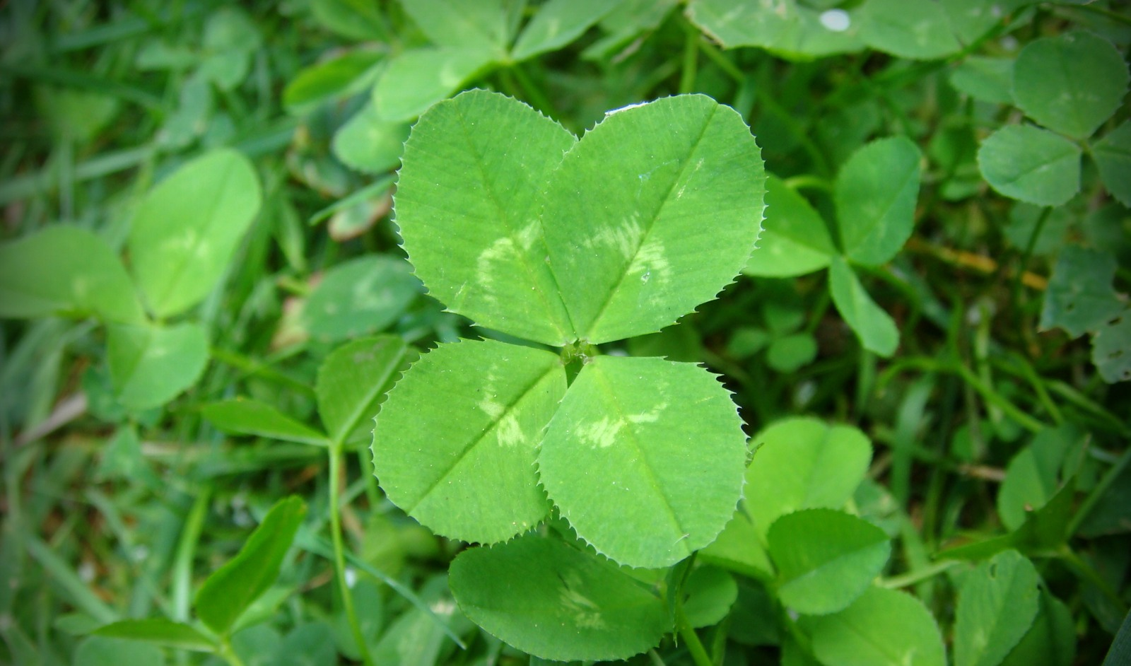 how to find a four leaf clover yahoo Clovers garden center | hometown yahoo local, 6306634846 get ratings, reviews, photos and more on yahoo local how to find a four leaf clover: 8 steps.