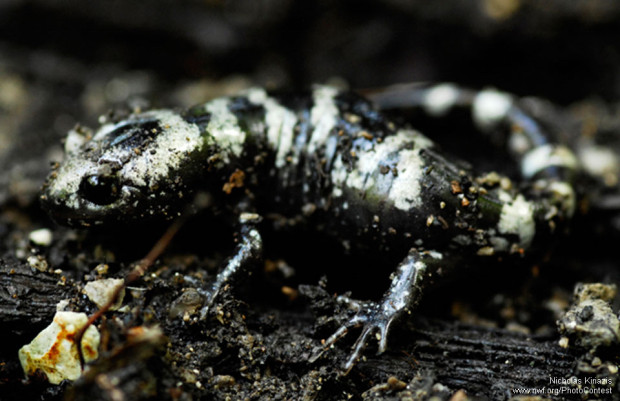 This marbled salamander was found by photographer Nicholas Kiriazis after flipping a log in Illinois.