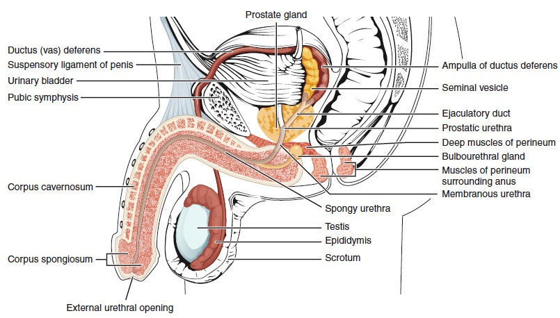 Penis_lateral_cross_section
