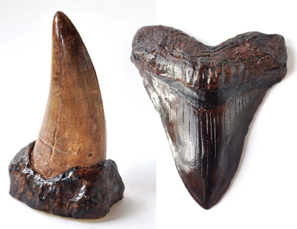Chocolate-Megalodon-tooth