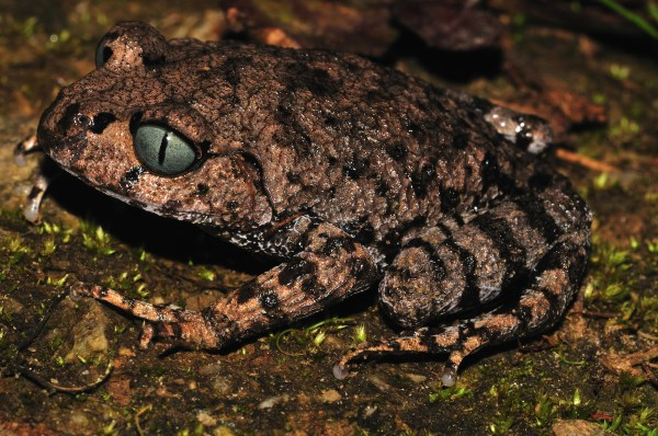 Bompu litter frog,  newly discovered in India. [Sanjay Sondhi]