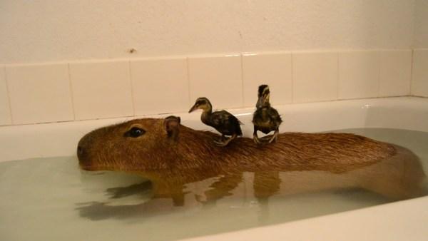 Capybara, Joe the