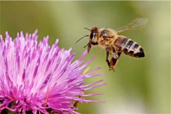 Honeybee_landing_on_milkthistle02-1