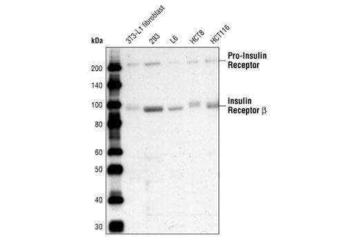 CST - Insulin/IGF-1 Signaling Pathway Antibody Sampler Kit