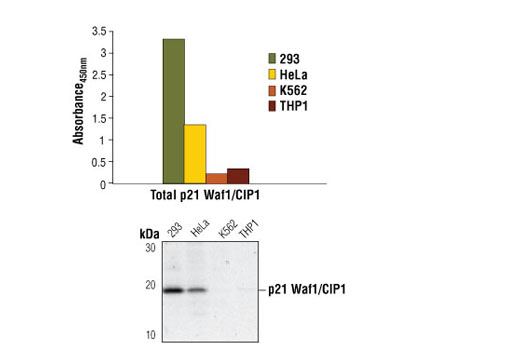 ELISA Kit Cyclin-Dependent Protein Kinase Activity from Cell