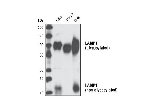 western blot analysis